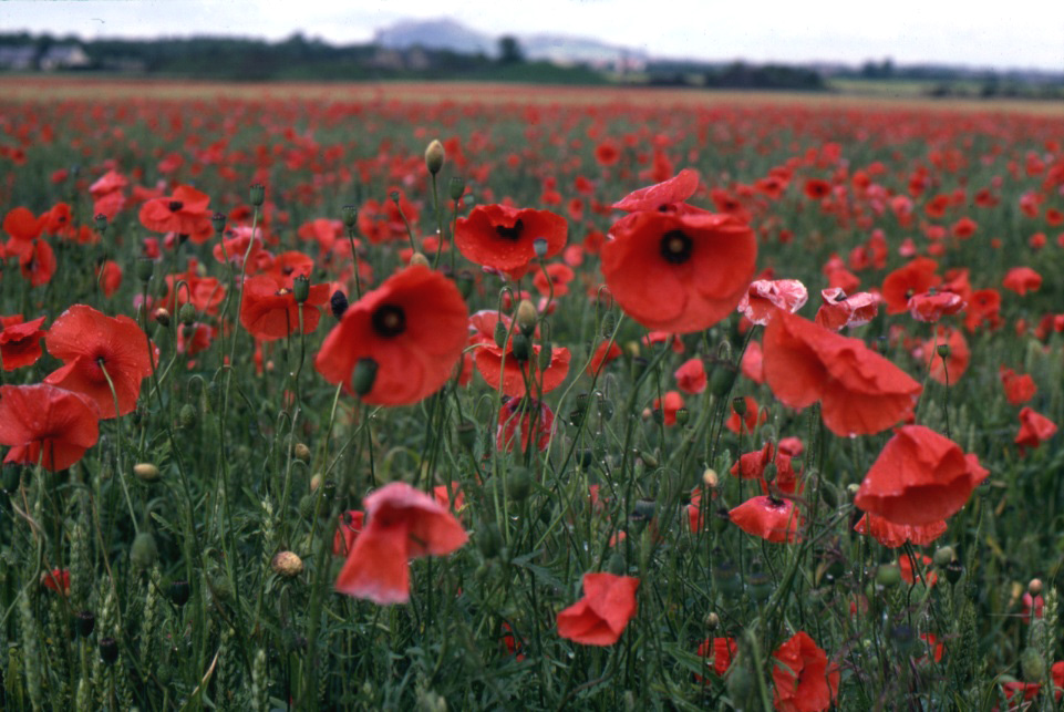 poppy-flowers-vivid-red-in-field-at-Musselburgh-Scotland-rescan-retouched-1-OGS
